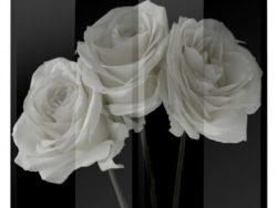 paravan-trandafiri-albi