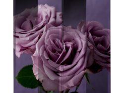 paravan-trandafiri-mov